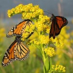 3-Monarchs-by-Bryan